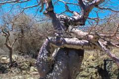 Adansonia-suarezensis-04