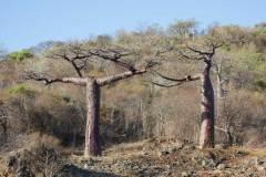 Adansonia-suarezensis-07