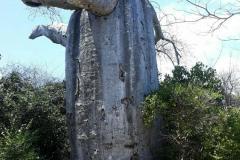 Adansonia-suarezensis