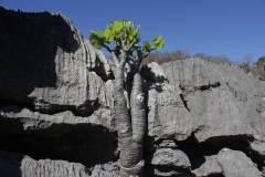 Adenia-pachypode-13