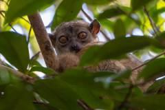 Black-Lemur-Park-115